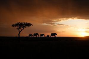 Africa, Kenya, Maasai Mara, elephants walking at sunset by Hollice Looney