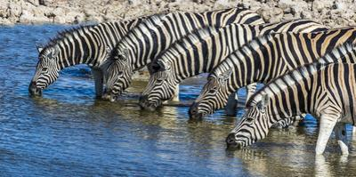 Africa, Namibia, Etosha National Park, Zebras at the Watering Hole by Hollice Looney