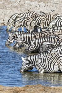 Africa, Namibia, Etosha National Park. Zebras at the watering hole by Hollice Looney