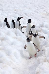 Antarctica, Cuverville Island, Gentoo Penguins walking through the snow by Hollice Looney