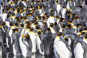 Antarctica, South Georgia Island, Salisbury Plain, King Penguins by Hollice Looney