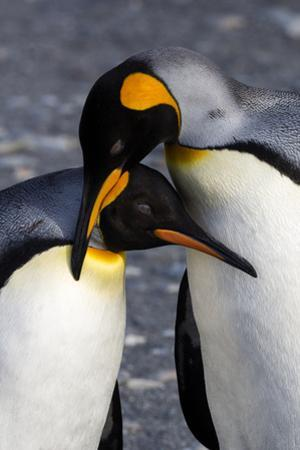 Antarctica, South Georgia Island. St. Andrew's Bay, pair of King Penguins by Hollice Looney