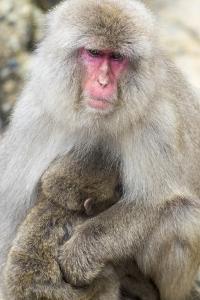 Asia, Japan, Jigokudani Monkey Park, Monkey Nursing Her Young by Hollice Looney