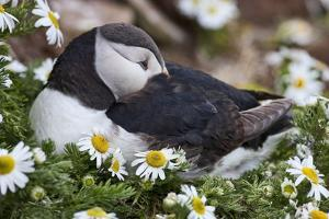 Iceland, Breidavik, Puffin Nesting Among the Daisies by Hollice Looney