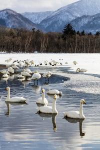 Japan, Hokkaido, Lake Kussharo. Whooper Swans swimming in lake by Hollice Looney