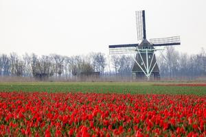 Netherlands, Old wooden windmill in a field of red tulips by Hollice Looney