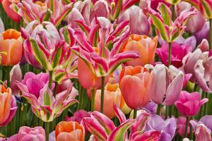 USA, Delaware, Hockessin. Tulips by Hollice Looney