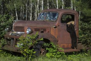 USA, Minnesota, Sandstone, Bear Cub and Old Truck by Hollice Looney
