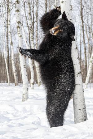 USA, Minnesota, Sandstone, Black Bear Scratching an Itch