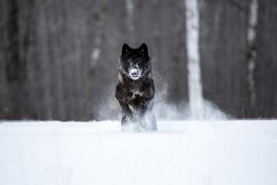 USA, Minnesota, Sandstone. Black wolf running through the snow