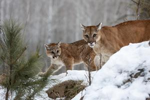 USA, Minnesota, Sandstone. Mother and baby cougar by Hollice Looney