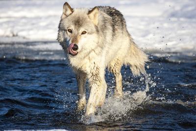 USA, Minnesota, Sandstone. Wolf Running in the water