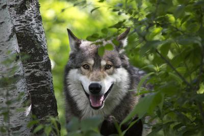 USA, Minnesota, Sandstone, Wolf