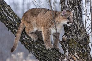 USA, Minnesota, Sandstone. young cougar playing in the tree by Hollice Looney