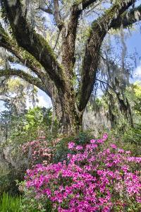 USA, North Carolina., moss-covered tree trunk with Azaleas by Hollice Looney