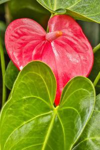 USA, Pennsylvania, Kennett Square. Red anthurium by Hollice Looney