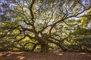 USA, South Carolina, Charleston, Angel Oak by Hollice Looney