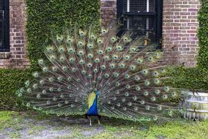 USA, South Carolina, Charleston, Displaying Peacock by Hollice Looney