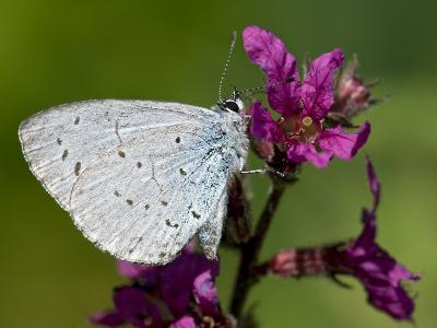 Holly Blue Butterfly Wings Closed, Feeding on Purple Loosestrife, West Sussex, England, UK-Andy Sands-Photographic Print