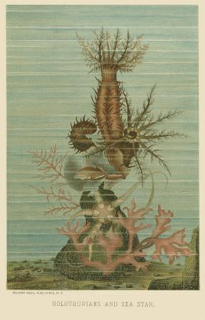 Holothurians and Sea Star