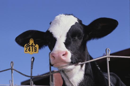 Holstein Calf with Eartag-DLILLC-Photographic Print