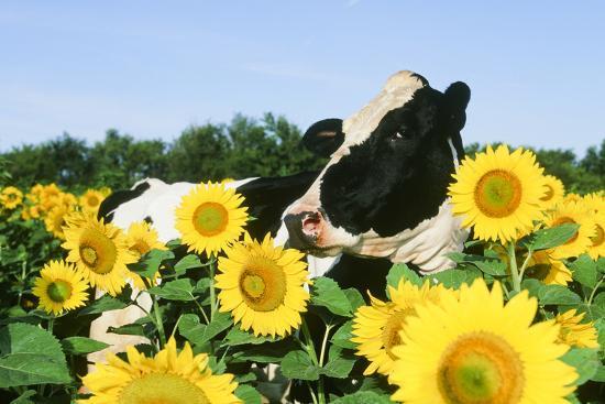 Holstein Cow--Photographic Print