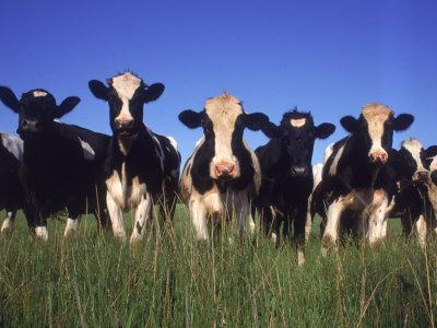 https://imgc.artprintimages.com/img/print/holstein-dairy-cows-wi_u-l-pxytig0.jpg?p=0