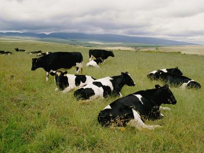 Holstein-Friesian Dairy Cows-George F^ Mobley-Photographic Print