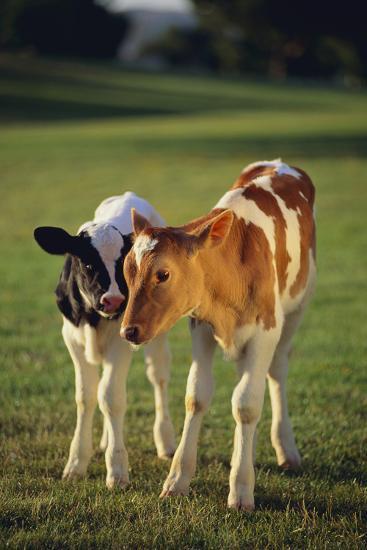 Holstein-Jersey Mix Calf and Holstein Calf-DLILLC-Photographic Print