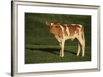 Holstein-Jersey Mix Calf-DLILLC-Framed Photographic Print
