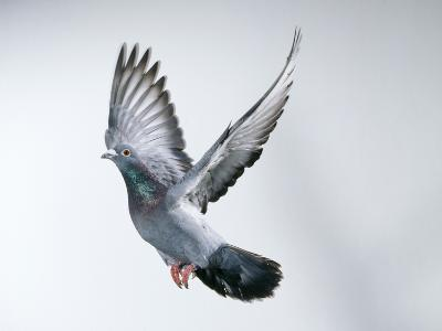 Homing Pigeon in Flight--Photographic Print