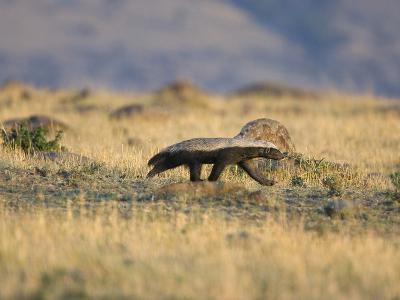 Honey Badger (Mellivora Capensis) Walking Through Grassland, Masai Mara, Kenya-Suzi Eszterhas/Minden Pictures-Photographic Print