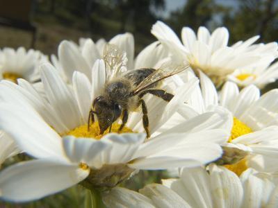 Honey Bee (ApisMellifera), Bee Station, Bavarian Julius-Maximilians-University of Wurzburg, Germany-Heidi & Hans-Juergen Koch/Minden Pictures-Photographic Print