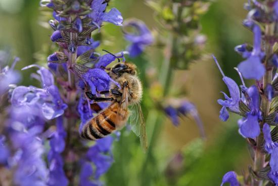 Honey Bee Collecting Nectar, Apis Mellifera, Kentucky-Adam Jones-Photographic Print