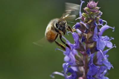Honey Bee Collecting Nectar, Apis Mellifera, Kentucky-Adam Jones-Photographic Print