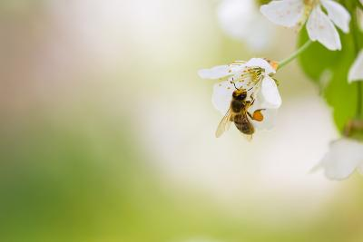 Honey Bee Enjoying Blossoming Cherry Tree On A Lovely Spring Day-l i g h t p o e t-Photographic Print