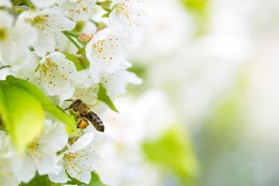 Honey Bee In Flight Approaching Blossoming Cherry Tree-l i g h t p o e t-Photographic Print