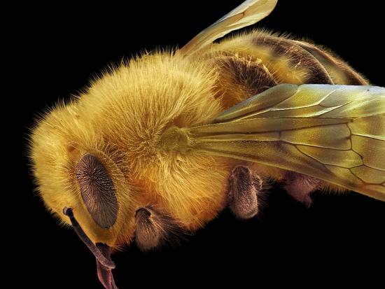 Honey Bee, SEM-David McCarthy-Photographic Print
