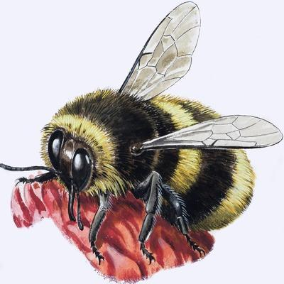 https://imgc.artprintimages.com/img/print/honey-bee_u-l-pcispu0.jpg?p=0