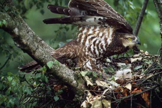 Honey Buzzard at Nest, with Chicks--Photographic Print