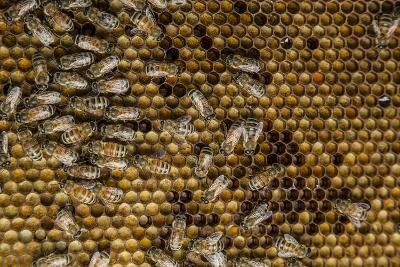 Honeybees, Apis Mellifera, from a Uc Davis Research Colony-Anand Varma-Photographic Print