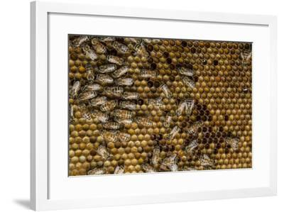 Honeybees, Apis Mellifera, from a Uc Davis Research Colony-Anand Varma-Framed Photographic Print