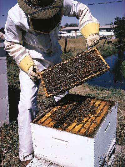 Honeycomb Held by Beekeeper-Jeff Foott-Photographic Print
