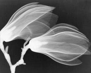 Magnolia II by Hong Pham