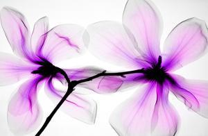 Magnolias by Hong Pham