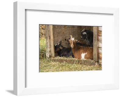 Hood River, Oregon, USA. Goats in their shelter during a rain.-Janet Horton-Framed Photographic Print