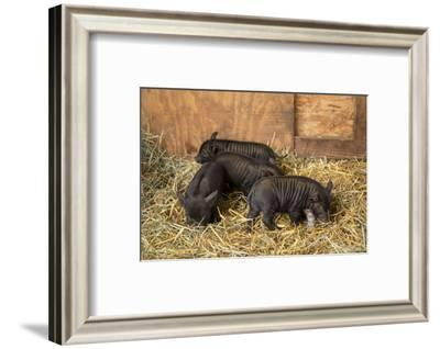 Hood River, Oregon, USA. Three piglets about two weeks old in their barn.-Janet Horton-Framed Photographic Print