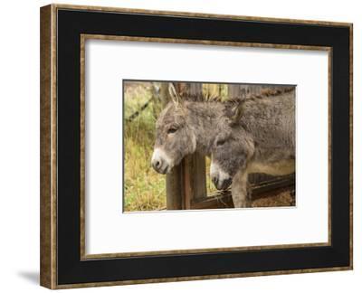Hood River, Oregon, USA. Two donkeys taking shelter during a rain.-Janet Horton-Framed Photographic Print