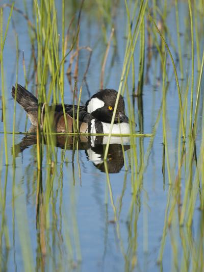 Hooded Merganser, Lophodytes Cucullatus, Viera Wetlands, Florida, Usa-Maresa Pryor-Photographic Print
