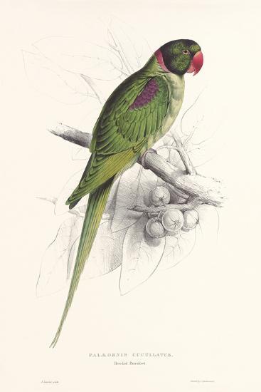 Hooded Parakeet-Edward Lear-Art Print